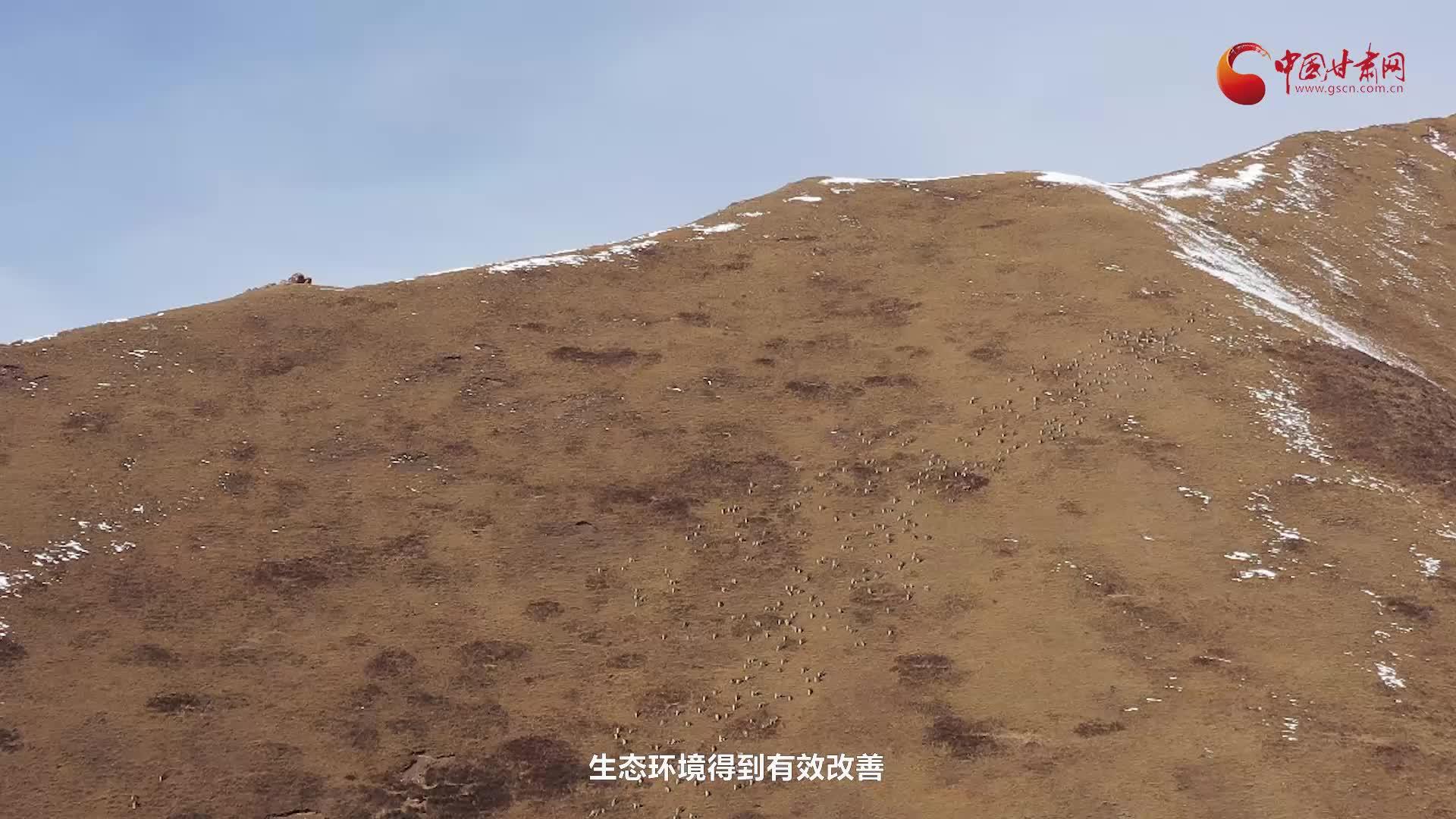 【微视频】山丹马场发现近千只岩羊翻山觅食
