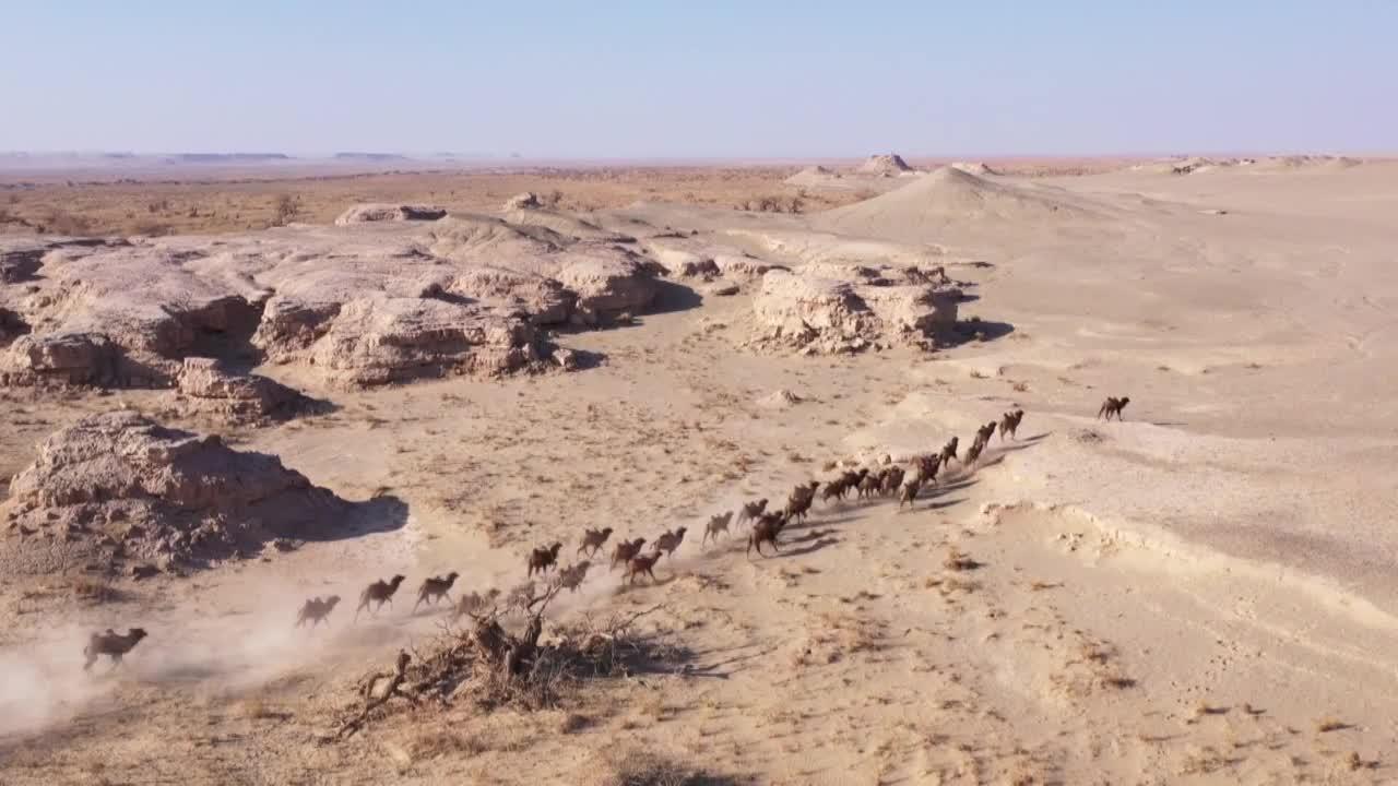 实拍甘肃30余峰野骆驼组团奔跑