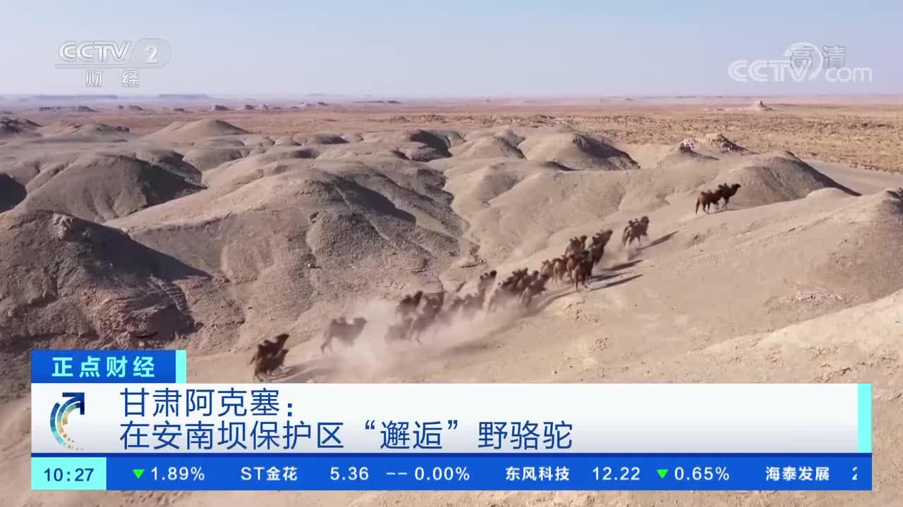 """甘肃阿克塞:在安南坝保护区""""邂逅""""野骆驼"""