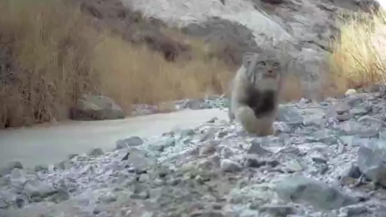 萌态可掬!濒危野生动物兔狲亮相甘肃一保护区