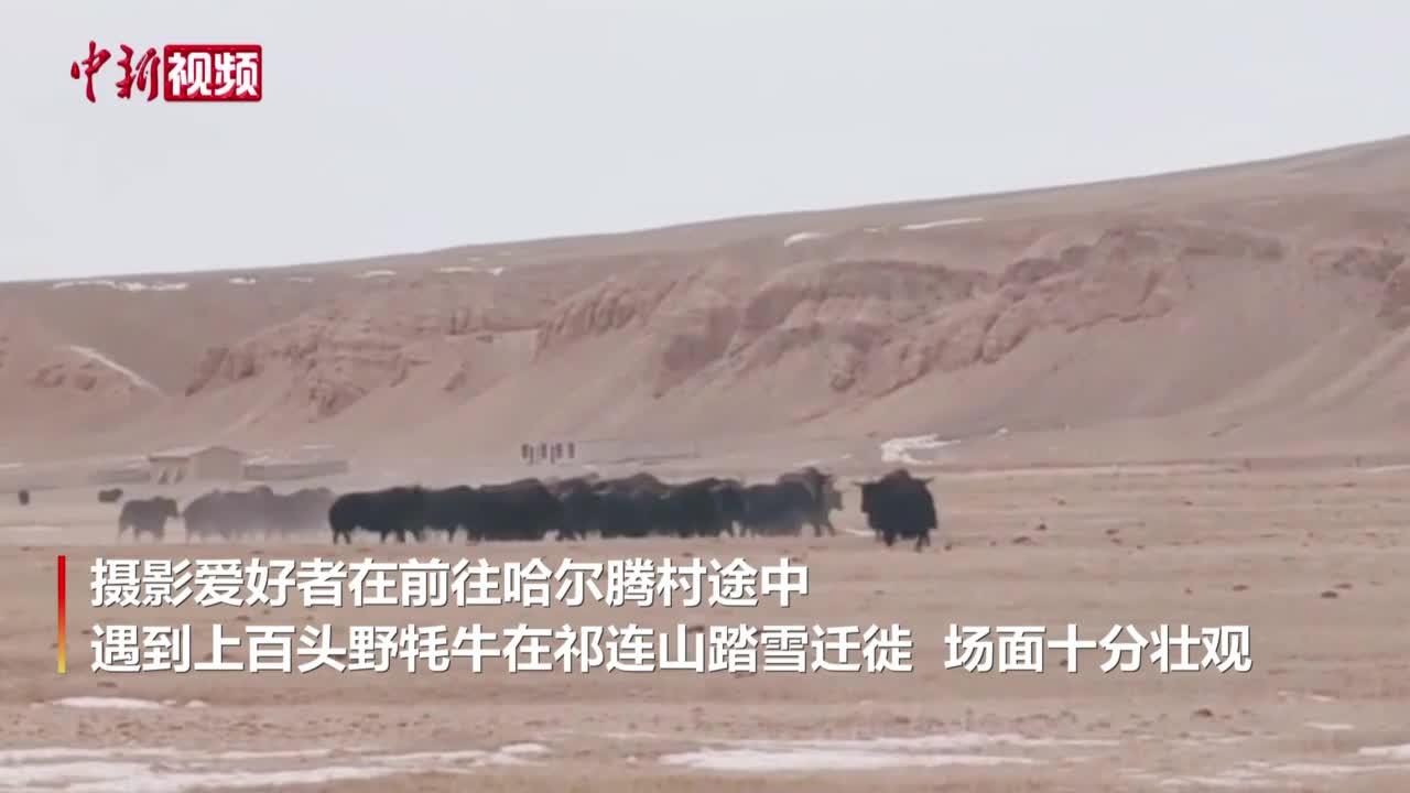 """祁连山上百头野牦牛""""组团""""出没"""