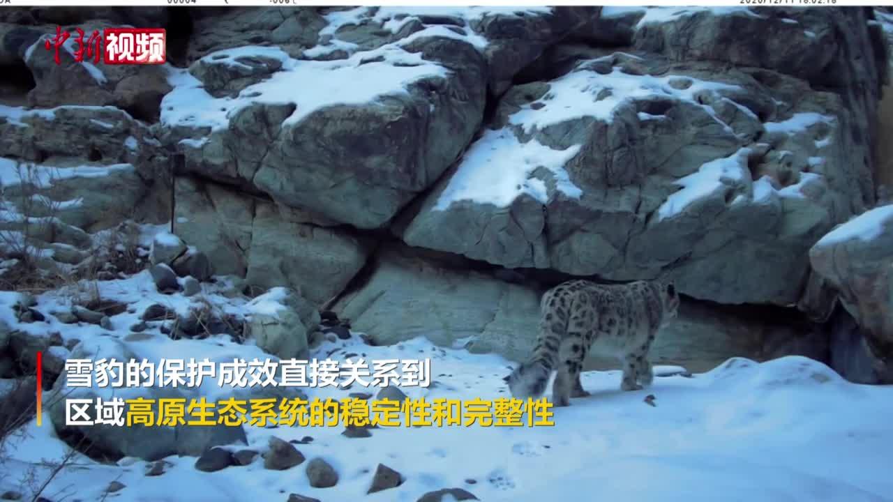 甘肃祁连山和阿尔金山拍到清晰完整雪豹活动画面