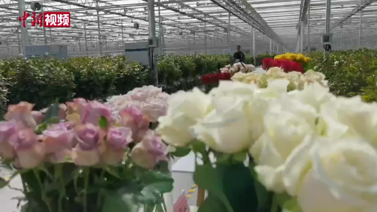 兰州:国庆首日十万支玫瑰发往全国